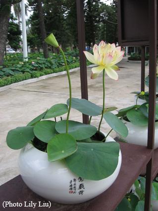 Bowl lotus